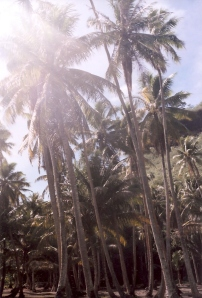 Coconut palms, Moorea